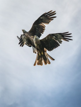 Framing Places - Guild Qualified - Red Kites Flghting